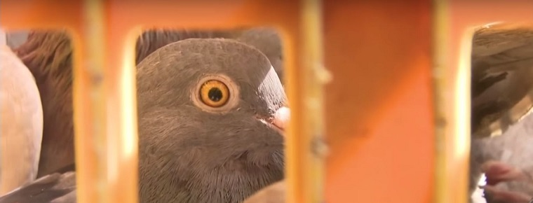 Getting Pigeons Out Of Your Attic